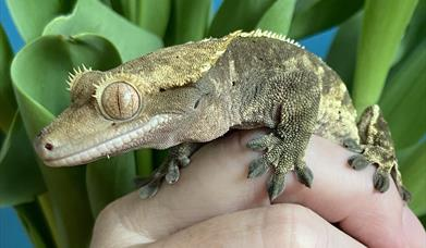 Gecko, Exotic Animal Handling Sessions, Torquay, Devon