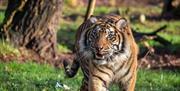 Sumatran tiger at Paignton Zoo