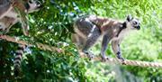 Ring tailed lemurs, Paignton Zoo Environmental Park, Paignton, Devon