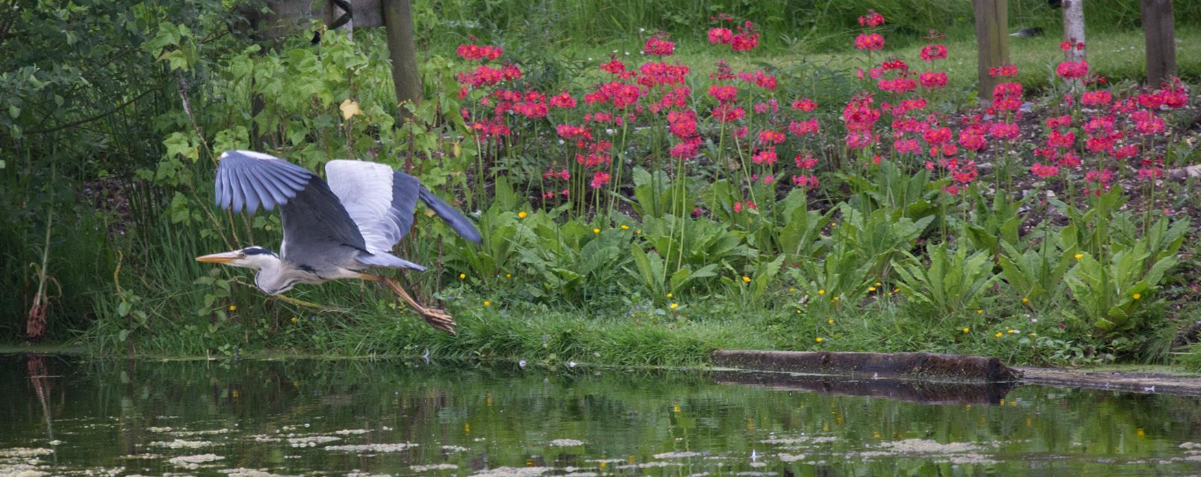 A heron taking flight at Bardfield Vineyard