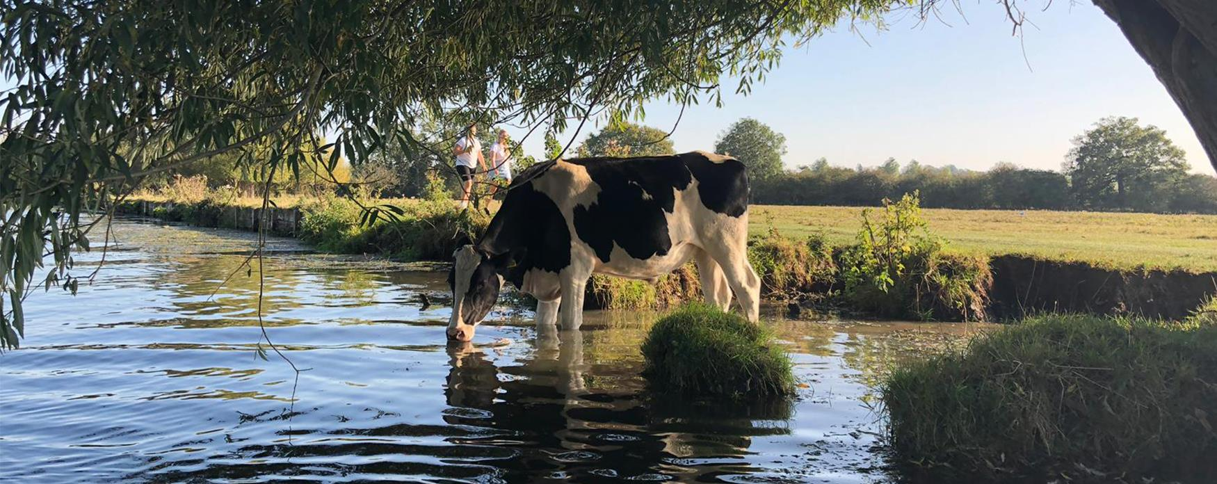 A cow standing by the river at Dedham