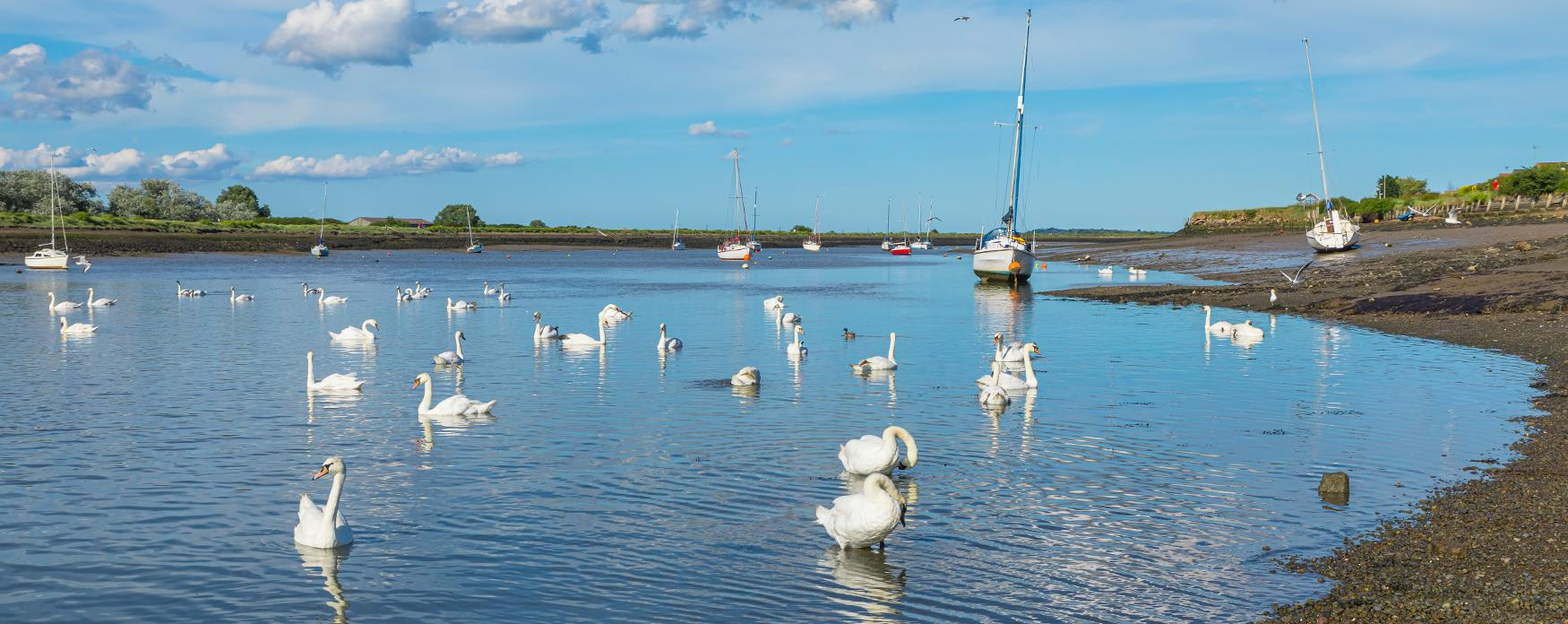 The swans in the water at Hullbridge