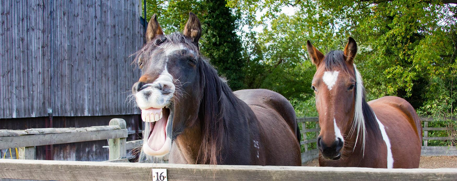 2 horses, one laughing