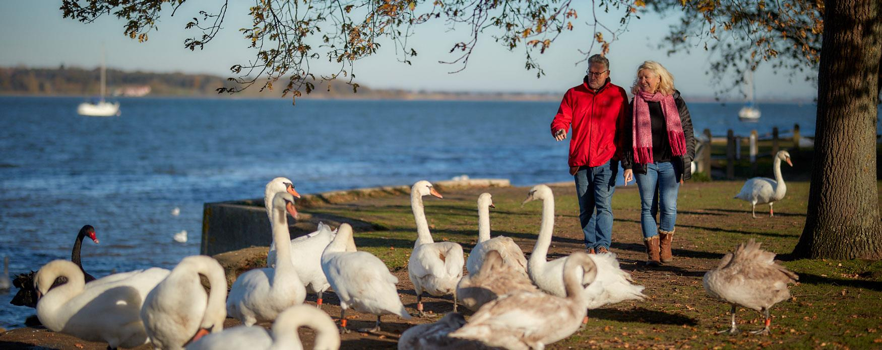 Walking with swans Manningtree