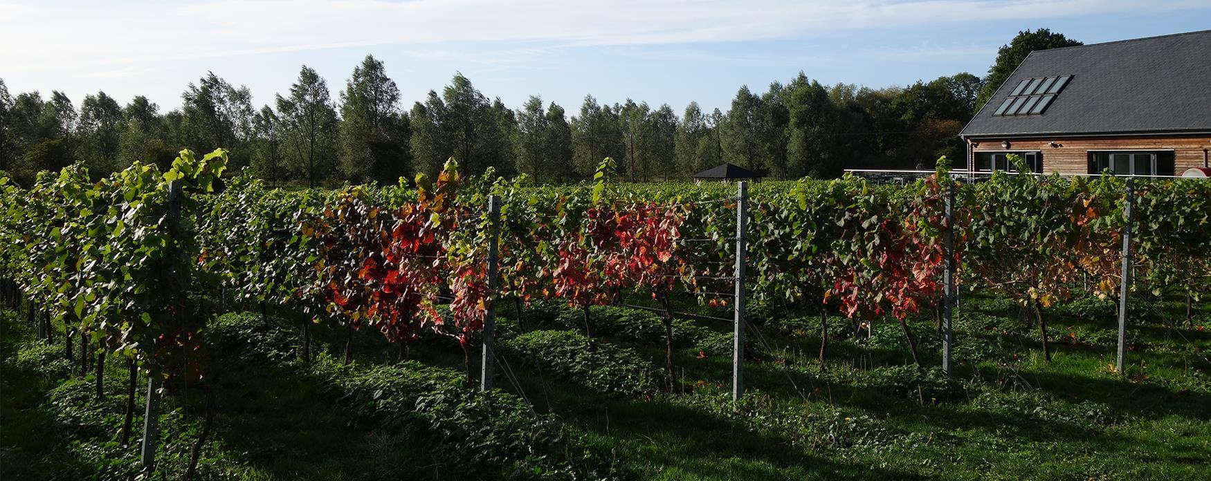Vines turning golden in autumn