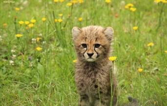 Cheetah Cub at Colchester Zoo