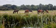 Horses along the Chelmer and Blackwater Navigation