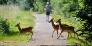 A runner approaches a family of deer running across a path in Epping Forest.