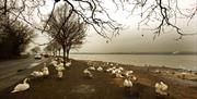 Manningtree Swans