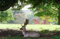 Buck at Powderham