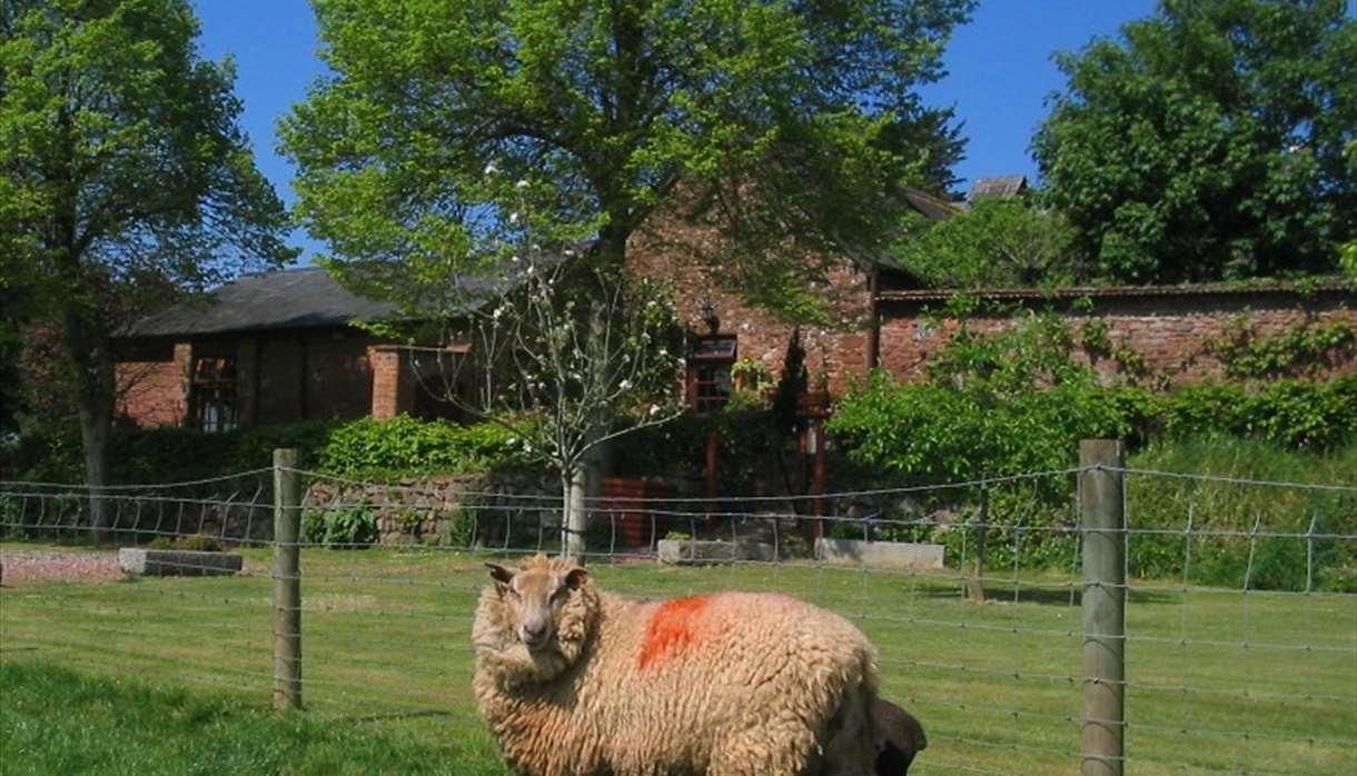 Sheep at The Coach House Farm