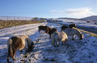 Dartmoor Ponies  (c) Dartmoor Partnership
