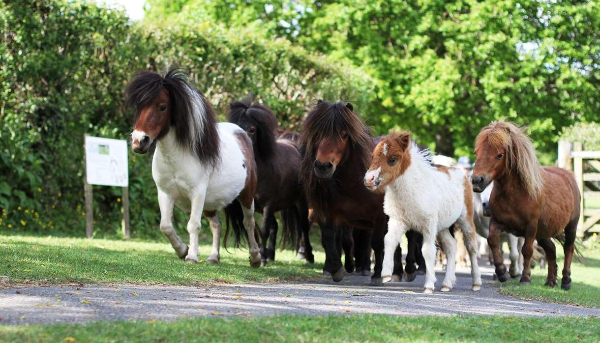 The Main Herd of Ponies
