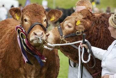 Cows (c) Devon County Show Credit: Geoff & Tordis Pagotto
