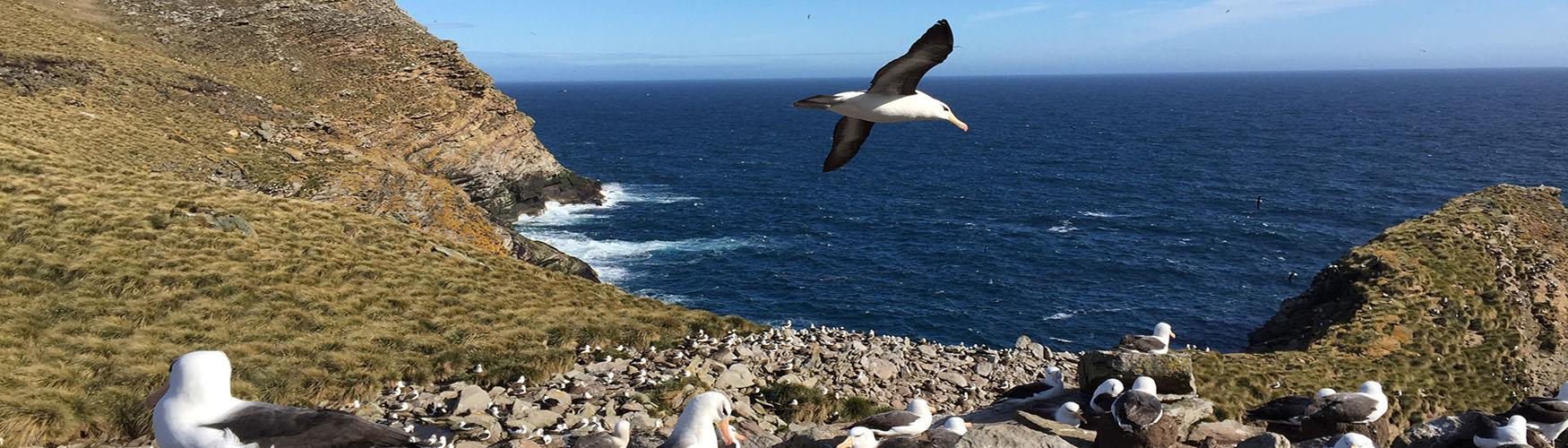 The Falkland Islands is home to 70% of the world Black-browed Albatross