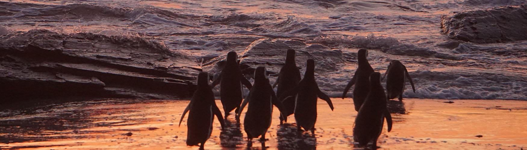 Magellanic Penguins going out to feed, Falkland Islands