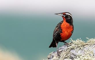 Long-tailed Meadowlark or Falklands Robin, Falklands Nature, Stanley, Falkland Islands