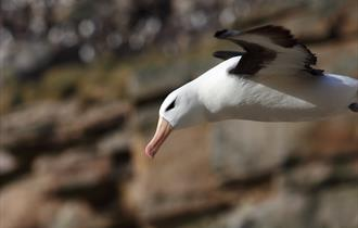 Close-up of the soaring black-browed albatross