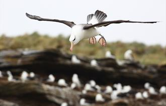 Landing at the black-browed albatross colony