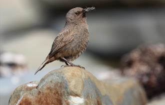 Cobb's Wren - endemic to the Falkland Islands