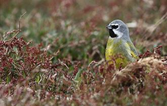 Siskin in the Falklands