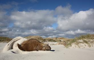 Elephant seal flipping the sand