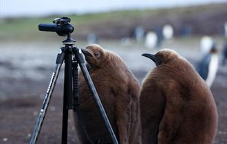 King penguin chicks checking out the equipment