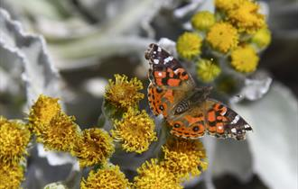 Look out for the beautiful Painted Lady butterfly in the Falkland Islands.