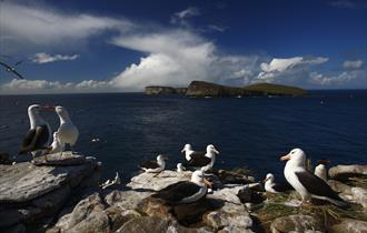 A black-browned albatross colony on high rocks in the Falkland Islands