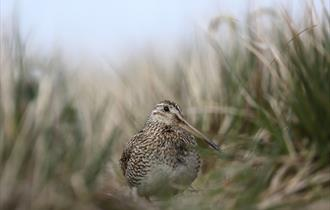 The Falkland Islands have ideal habitats for the Magellanic snipe.
