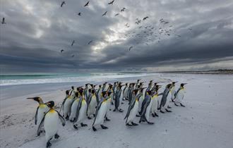 King Penguins - Falkland Islands
