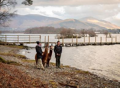 Keswick - walk with Alpacas