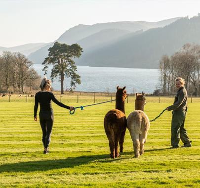 Alpaca Walking at The Lake District Wildlife Park