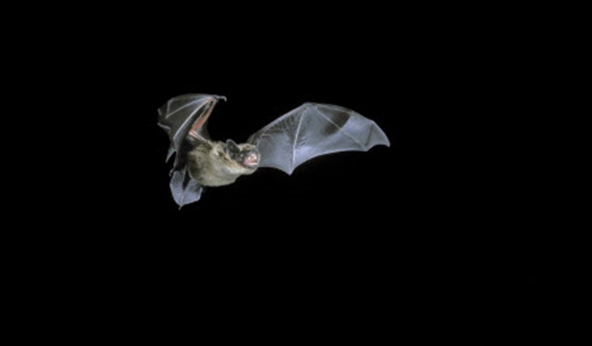 Family Bat Walks