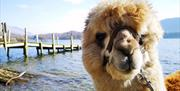 Alpacaly Ever After
