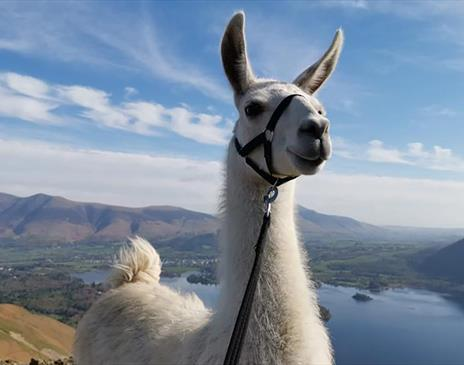 Llama Trekking at Little Town with Alpacaly Ever After