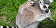 Lemur @ The Lake District Wildlife Park