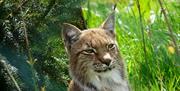 Lynx @ The Lake District Wildlife Park