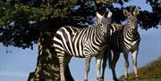 Zebra @ The Lake District Wildlife Park