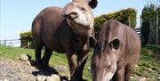 Tapirs @ The Lake District Wildlife Park