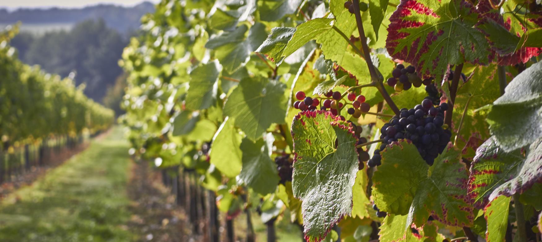 Grape vines growing in England