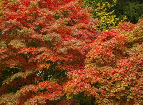 Autumn leaves at Westonbirt Arboretum