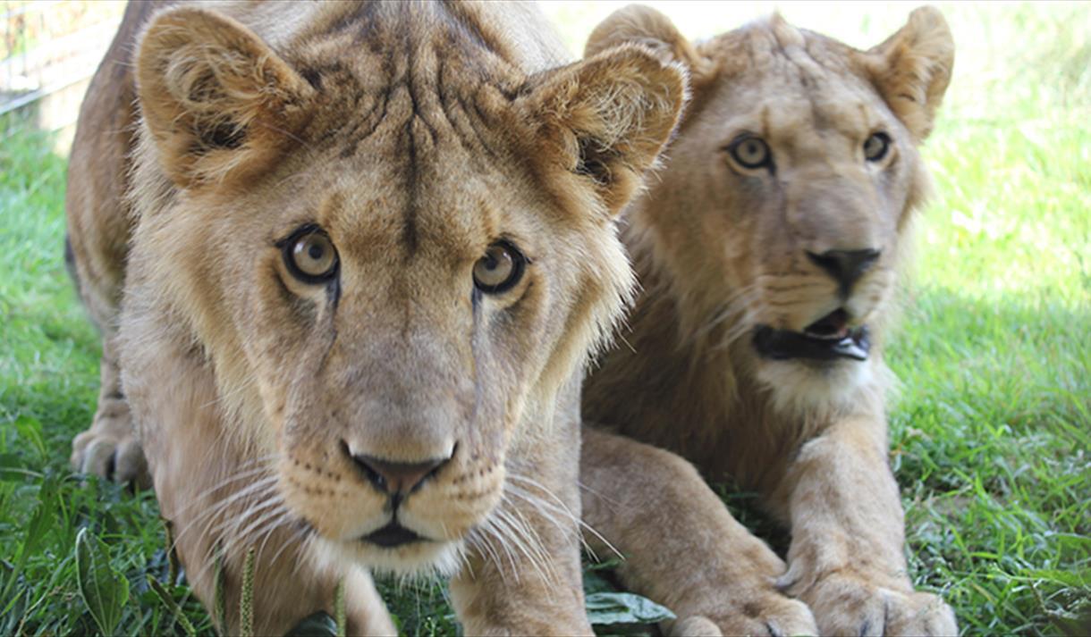 Lions at Noah's Ark Zoo Farm