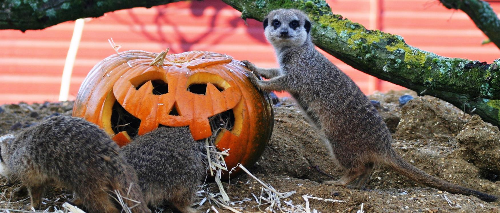 Pumpkin and Meerkat at Marwell Zoo
