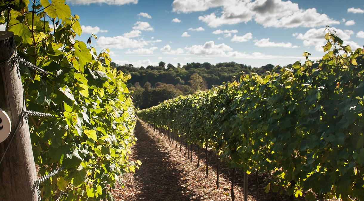 Hambledon Vineyard in the South Downs National Park