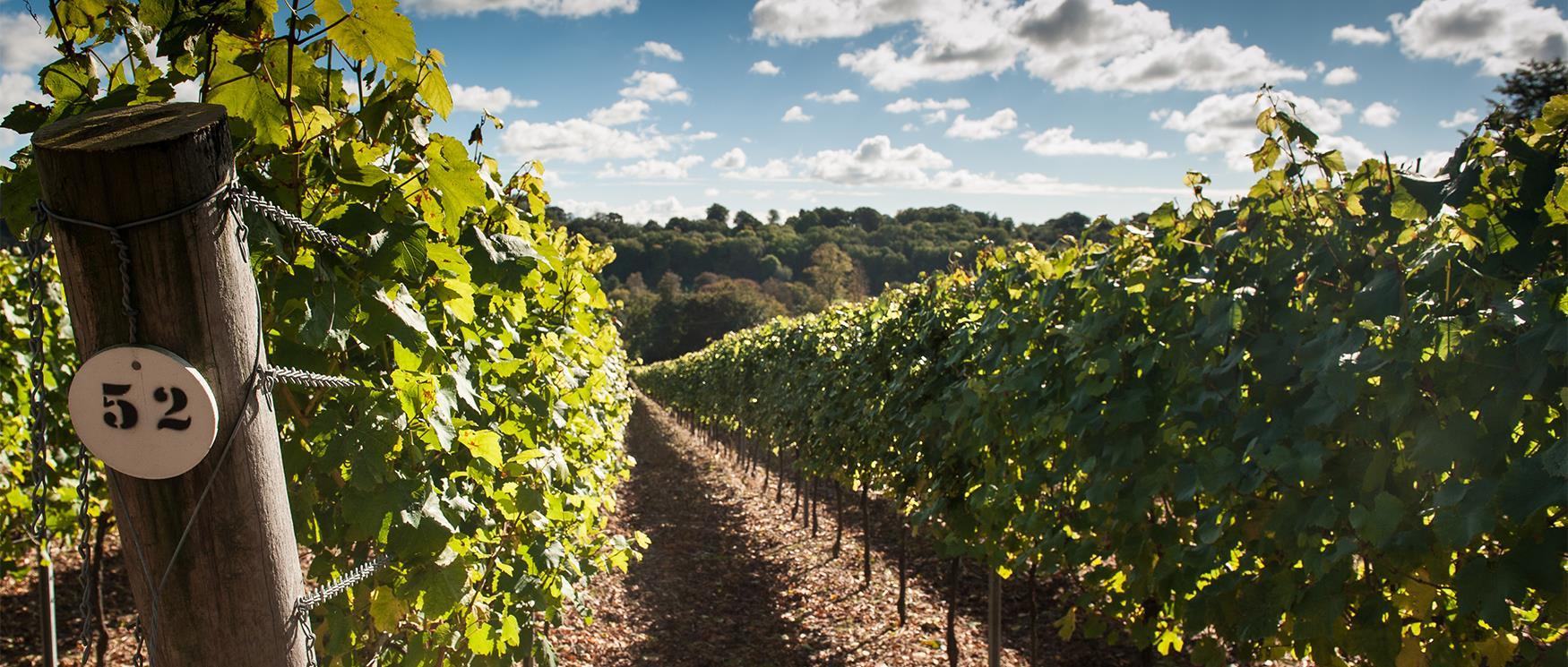 Hambledon Vineyard