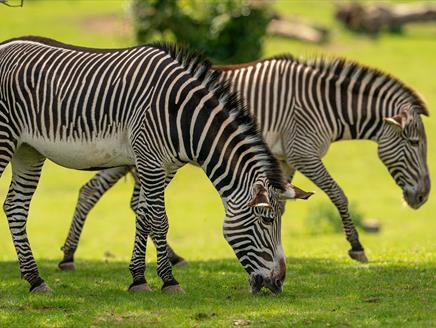 Marwell's Zebras