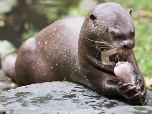 Giant Otter at The New Forest Wildlife Park