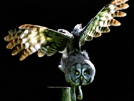 Owls By Moonlight at The Hawk Conservancy Trust