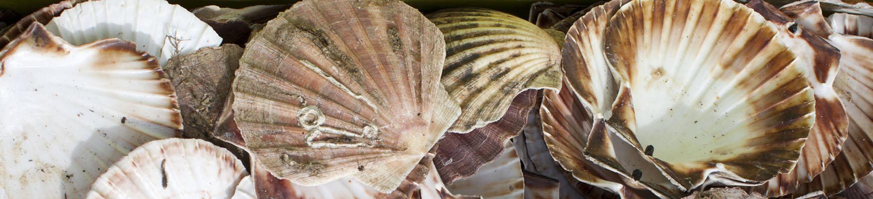 Empty scallop shells